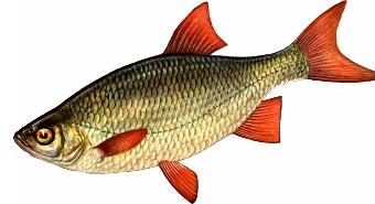 русская рыбалка красноперка